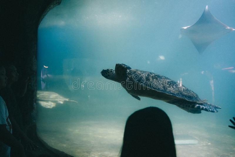 Grande tartaruga em um aquário em um aquapark imagens de stock royalty free