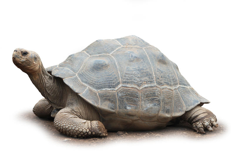 Grande tartaruga isolata fotografia stock