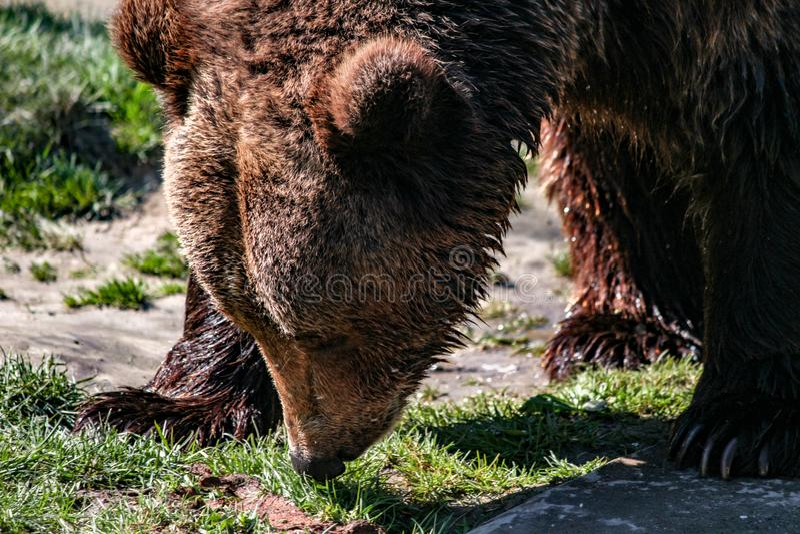 Grande testa di marrone dell'orso fotografie stock libere da diritti