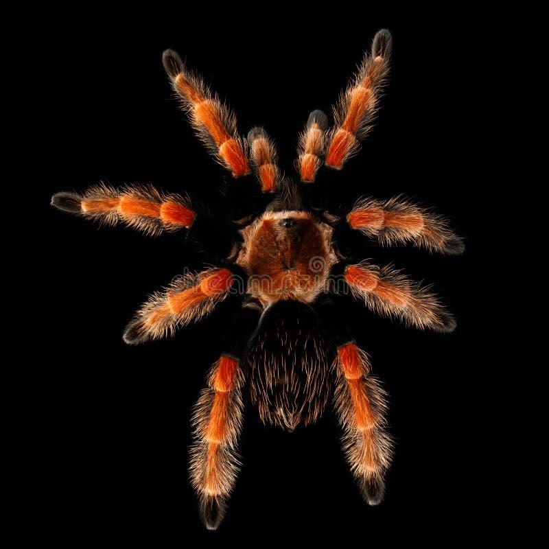 Grande Theraphosidae peloso della tarantola isolato su fondo nero fotografie stock libere da diritti