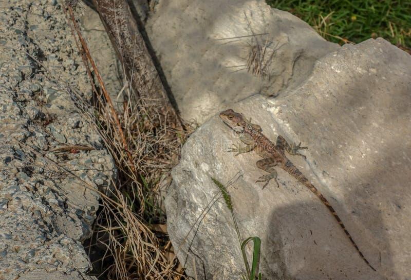 Grande tipo lagarto do geco que descansa em uma rocha em seu ambiente natural imagens de stock royalty free