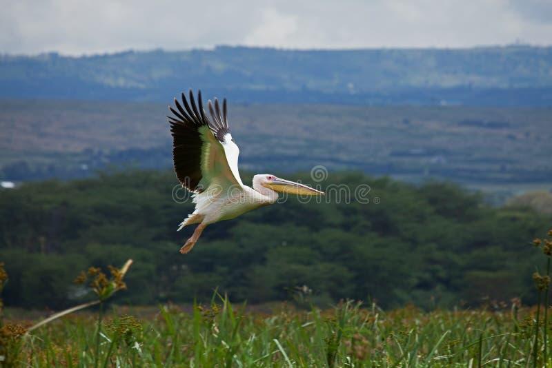 Grande tiro branco da cabeça do pelicano imagem de stock