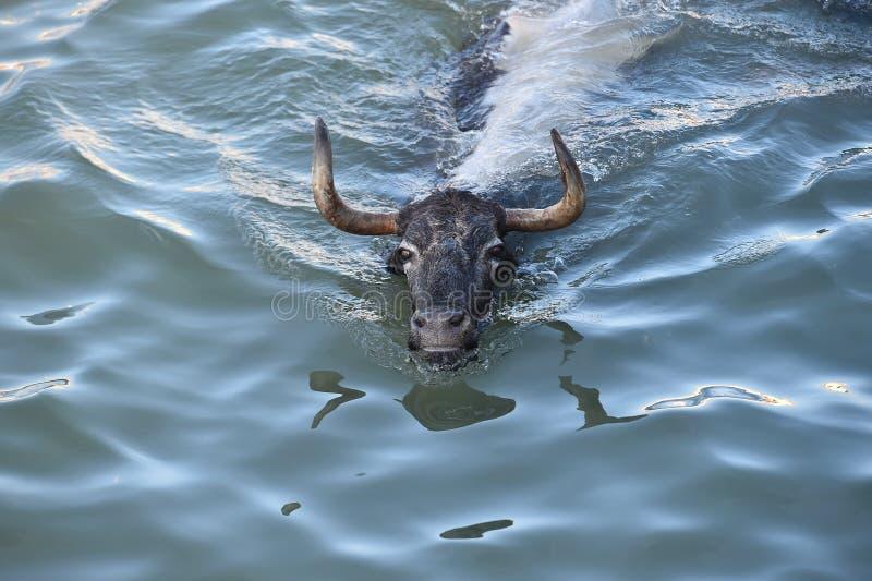 Grande toro nel mare spagnolo fotografia stock