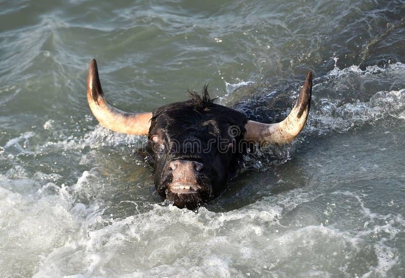 Grande toro nel mare spagnolo immagine stock
