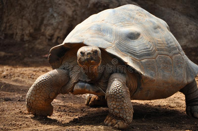 Grande tortue photographie stock