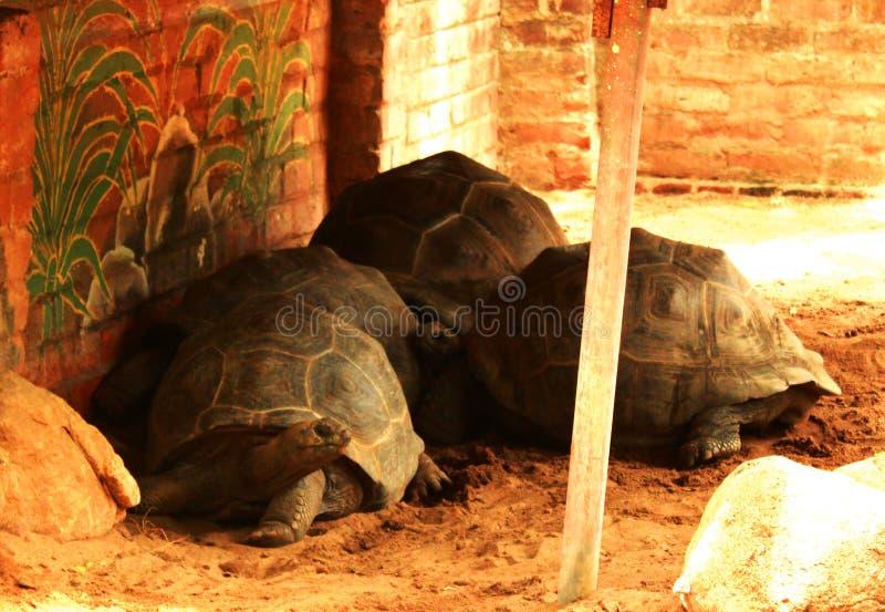 Grande tortue photos libres de droits