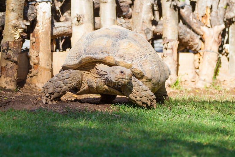 Grande tortue des Seychelles images libres de droits