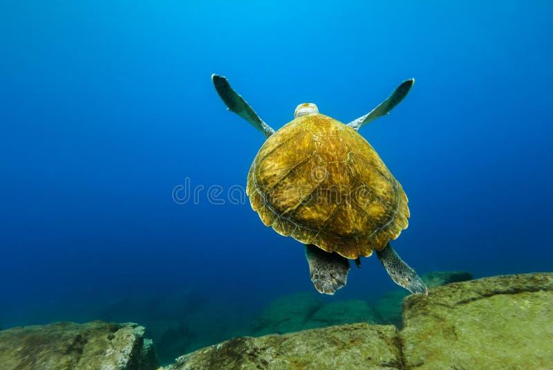 Grande tortue flottant dans l'eau bleue profonde d'océan images libres de droits
