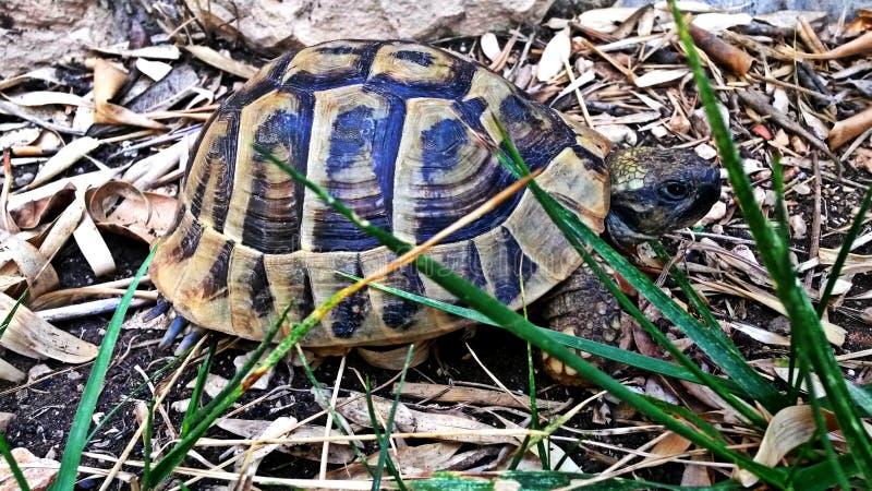 Grande tortue marchant dans l'herbe photos libres de droits