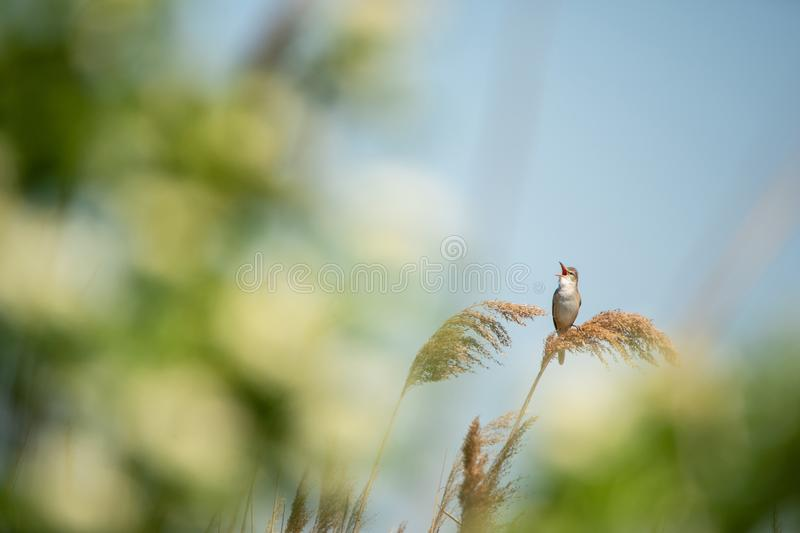 Grande toutinegra de lingüeta que senta-se na parte superior de throated completo de chilro do junco árido foto de stock