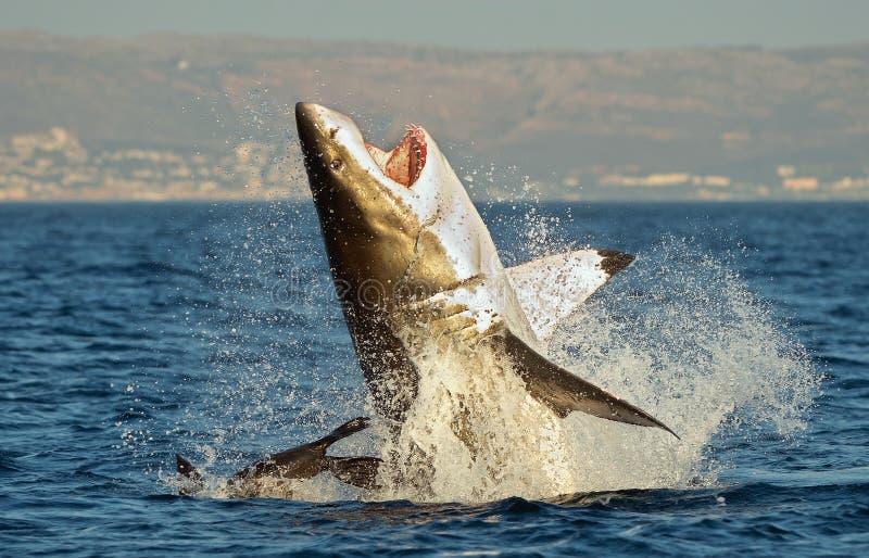 Grande tubarão branco (carcharias do Carcharodon) que rompe em um ataque no selo