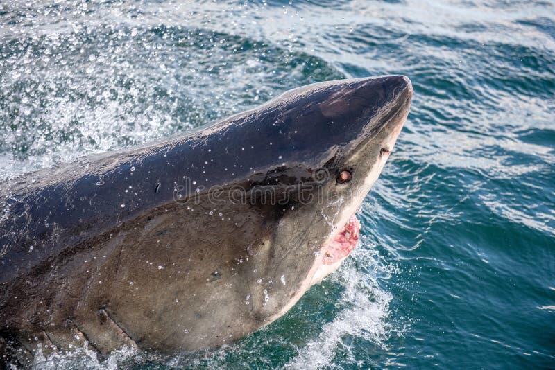 Grande tubarão branco com boca aberta fotos de stock
