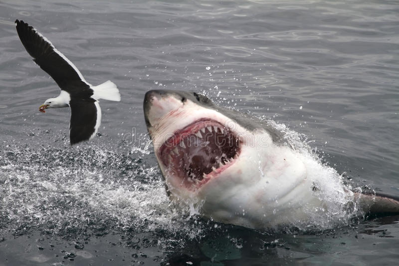 Grande tubarão branco do ataque