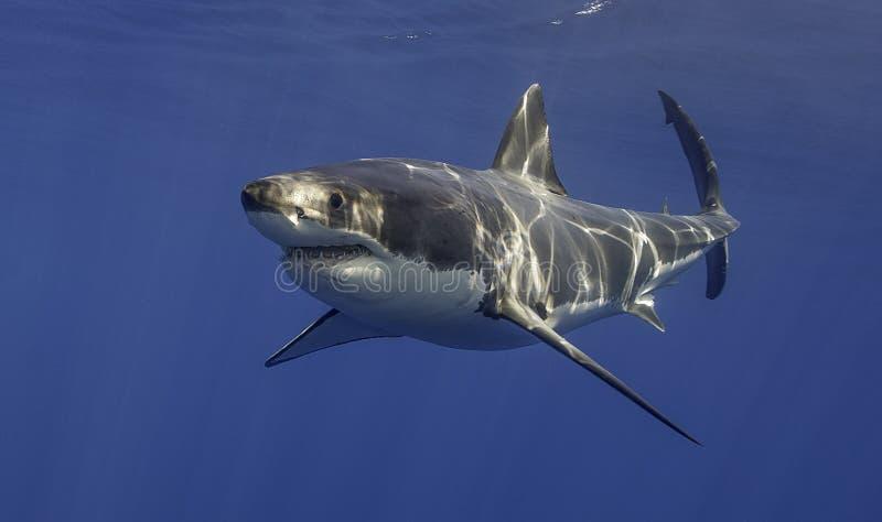 Grande tubarão branco México imagem de stock royalty free