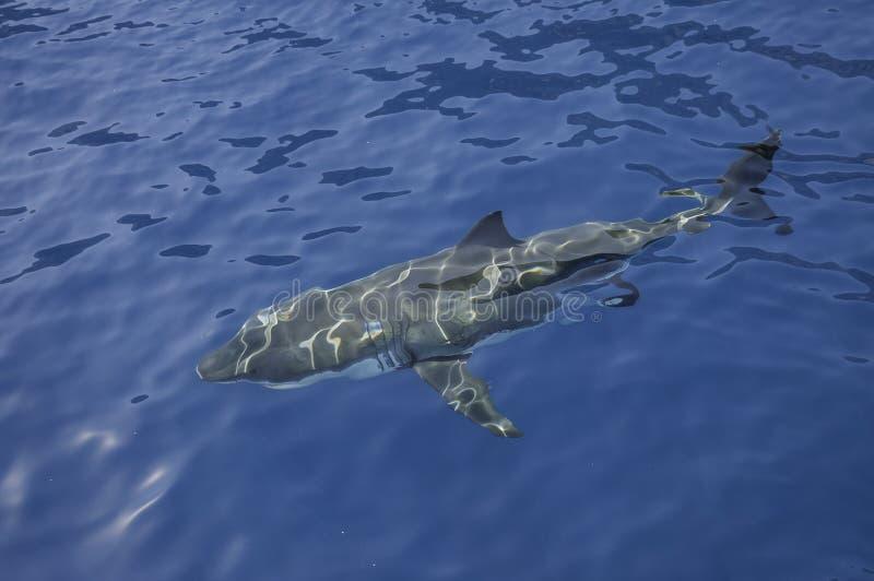 Grande tubarão branco México foto de stock