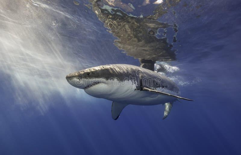Grande tubarão branco México imagens de stock