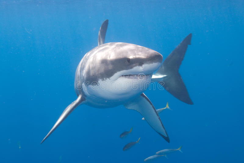 Grande tubarão branco no console de Guadalupe foto de stock