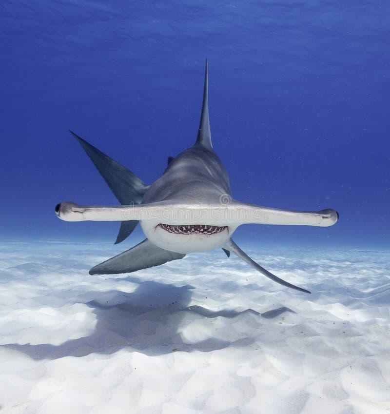 Grande tubarão de Hammerhead imagem de stock royalty free