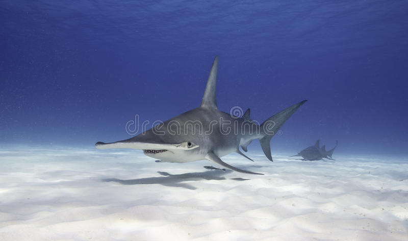 Grande tubarão de Hammerhead fotografia de stock