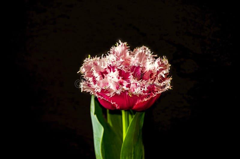Grande tulipano rosso di Terry con il rosa guarnito con le foglie verdi su un fondo nero fotografia stock libera da diritti