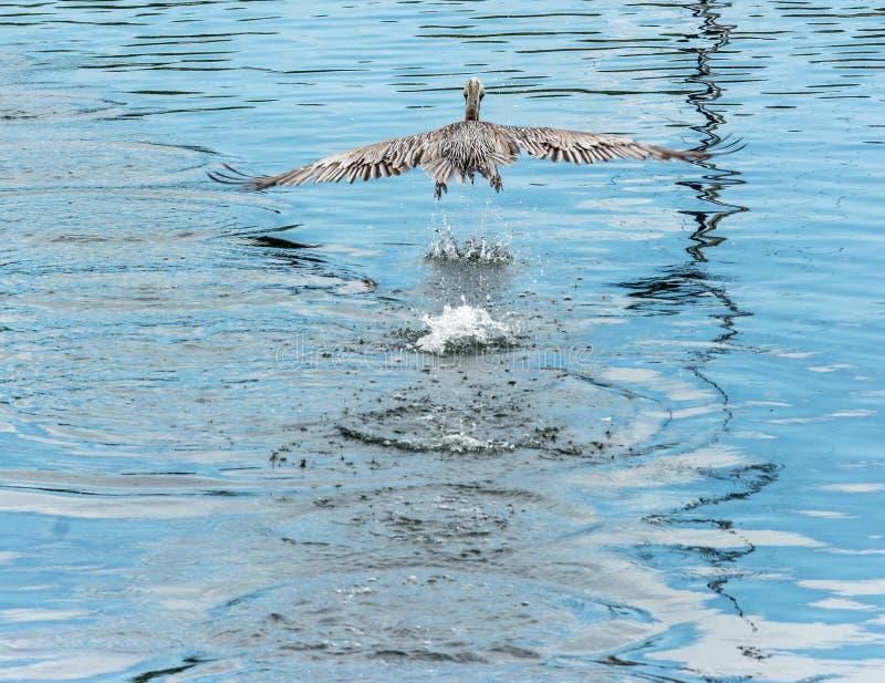 Grande uccello del pellicano che sorvola acqua immagini stock