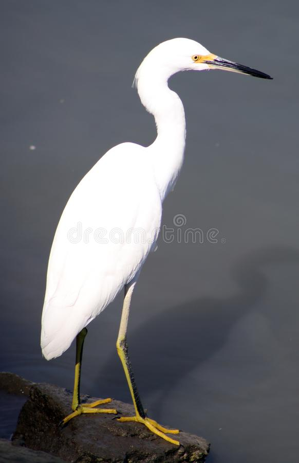 Grande uccello dell'airone bianco all'oceano in Los Cabos Messico, bella creatura maestosa fotografia stock