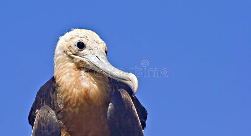 Grande uccello di fregata giovanile fotografia stock