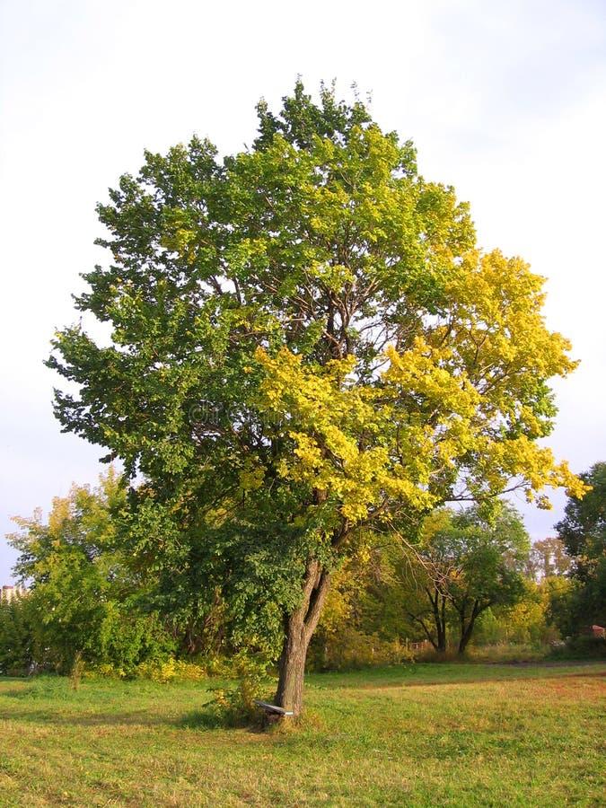 Grande uma ?rvore alastrando com as folhas amarelas e verdes do outono no prado na paisagem pitoresca do outono imagem de stock