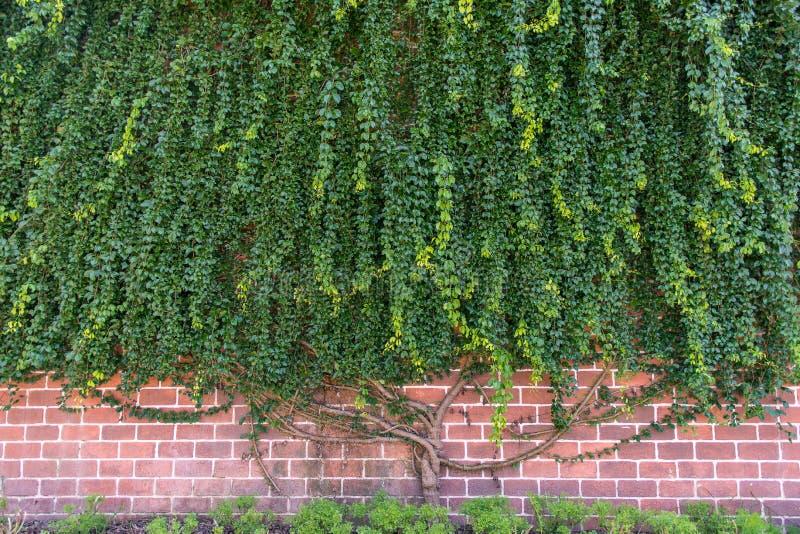 Grande usine de plante grimpante s'élevant sur le mur photographie stock