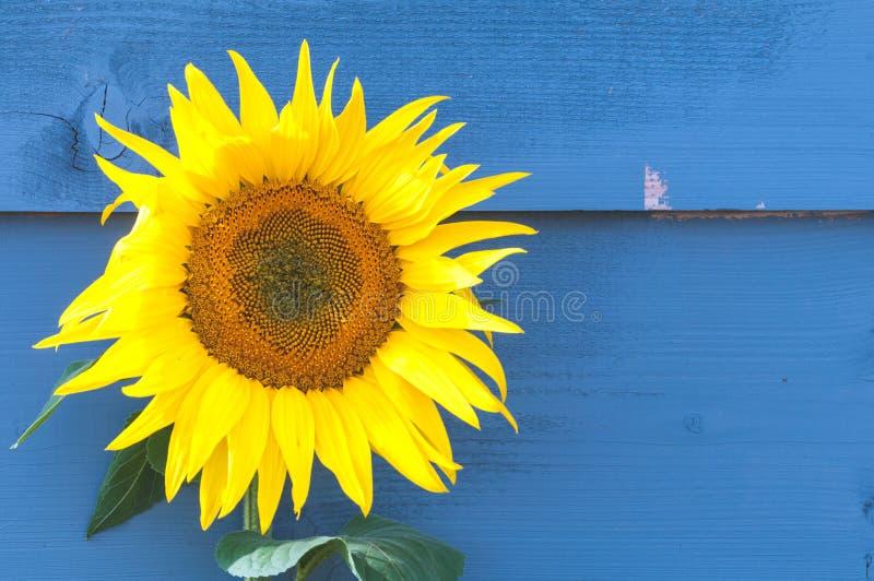 Grande usine de tournesol s'élevant extérieure devant le fond en bois peint bleu, un tournesol simple photos stock