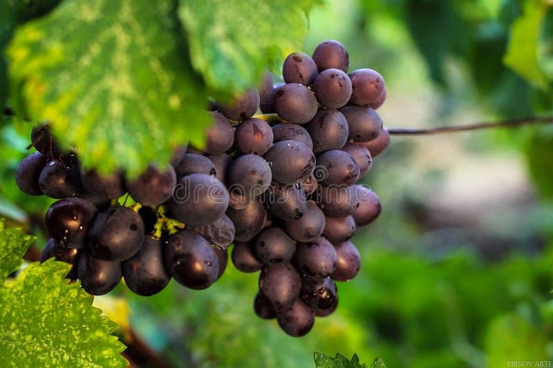 Download Grande uva della spazzola immagine stock. Immagine di estate - 56876175