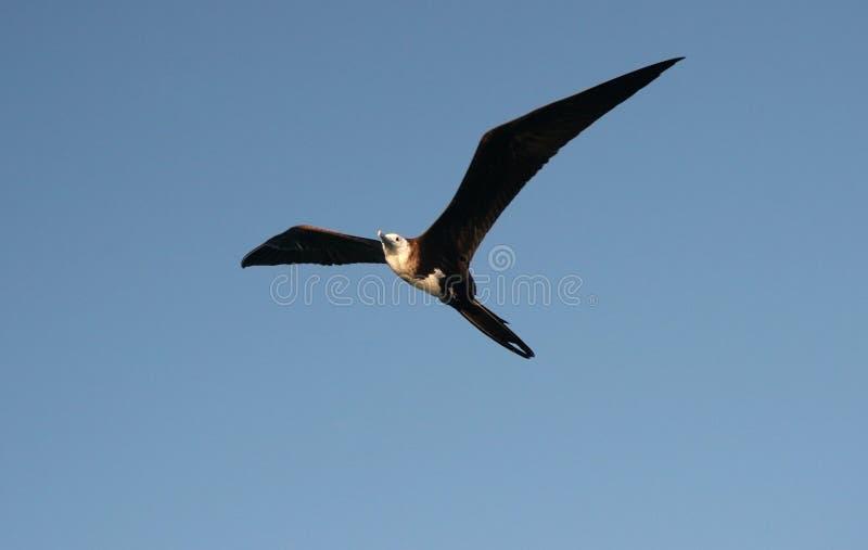 Grande vôo de Frigatebird foto de stock royalty free