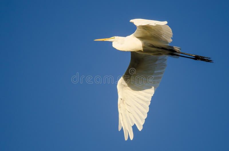Grande vôo do Egret em um céu azul fotografia de stock