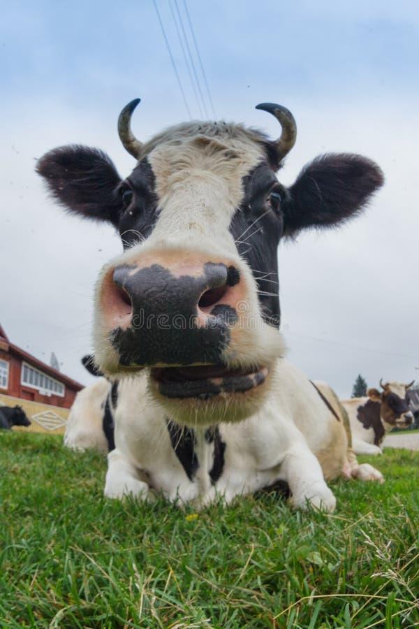 Grande vache images libres de droits
