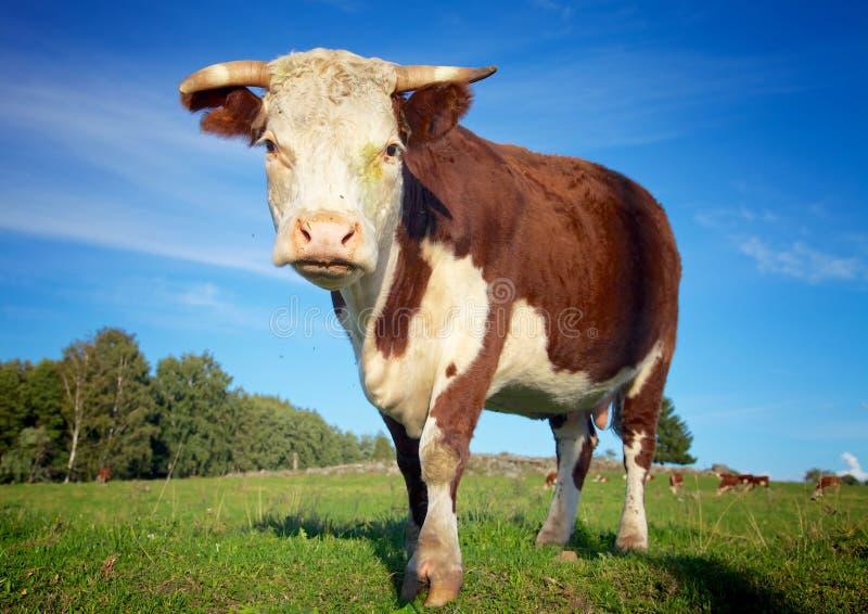 Grande vache sur le pré photographie stock
