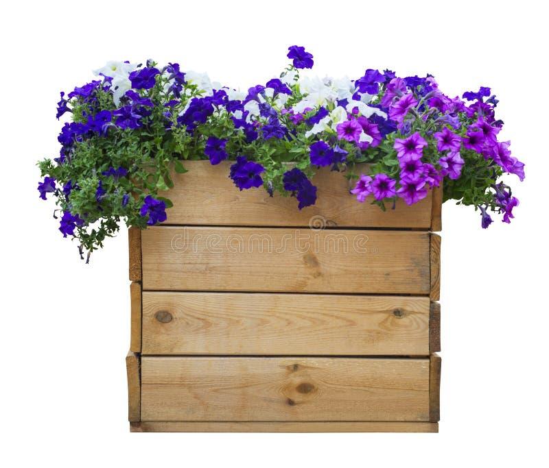 Grande vaso di legno delle petunie isolate su bianco fotografia stock libera da diritti