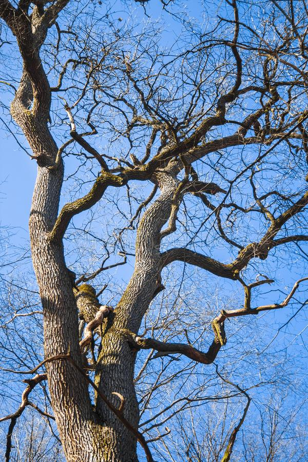 Grande vecchia quercia contro il fondo del cielo blu in molla in anticipo immagini stock libere da diritti