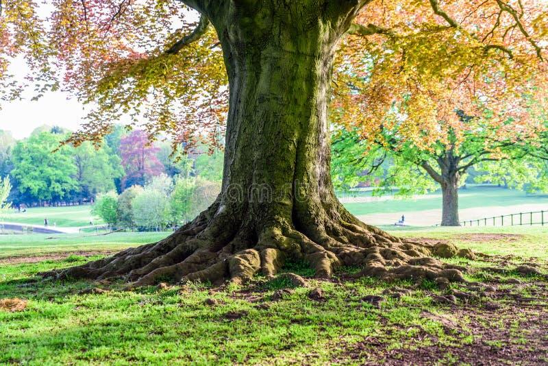 Grande vecchio albero che cresce nel parco britannico immagini stock libere da diritti