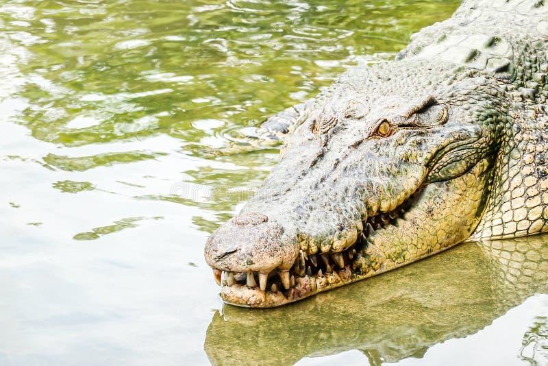 Grande vecchio coccodrillo potente dell'acqua dolce che entra in acqua da una sponda del fiume Guardando forte, entrata visibile  immagini stock