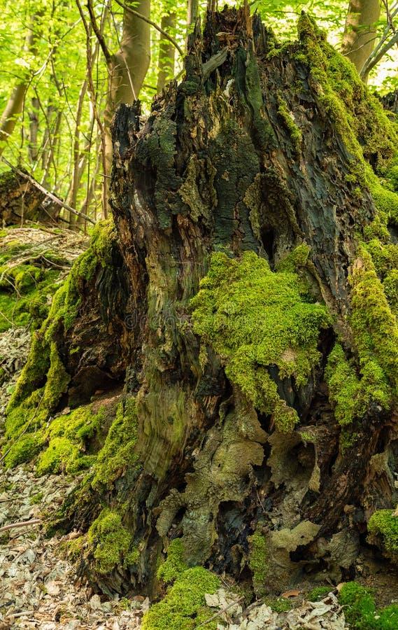 Grande vecchio e ceppo di albero muscoso nella foresta fotografia stock libera da diritti