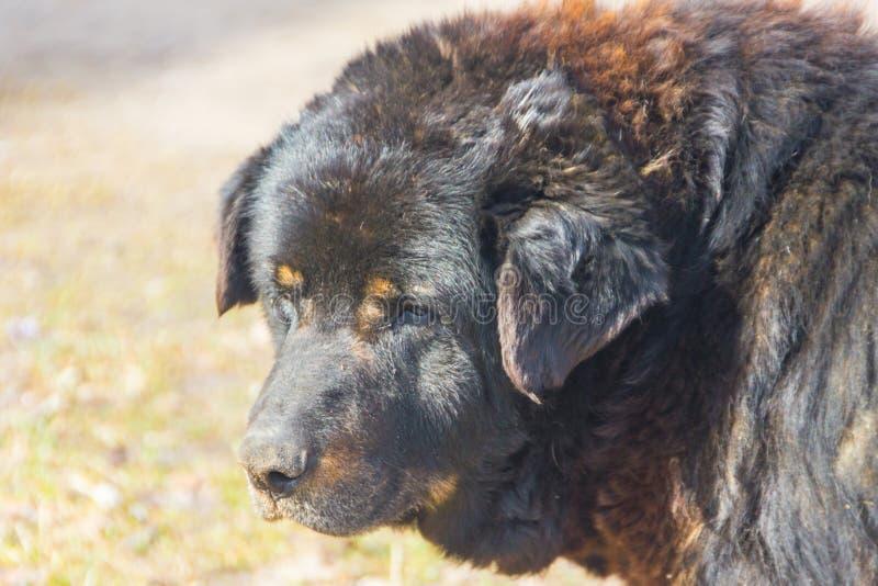 Grande, vecchio primo piano del cane Molto un vecchio, senza tetto, fotografie stock
