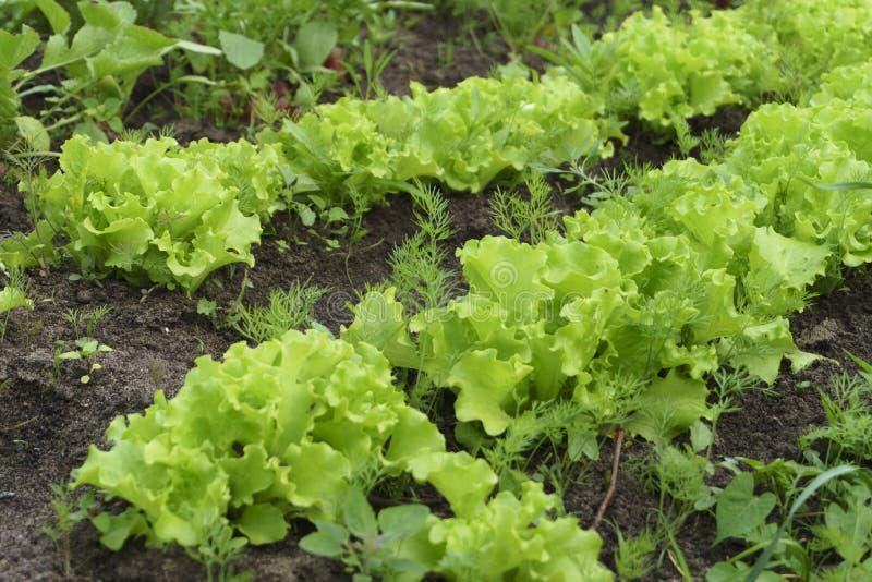 Grande verde fresco Bush saud?vel da alface que cresce no jardim Alface org?nica verde fotografia de stock royalty free