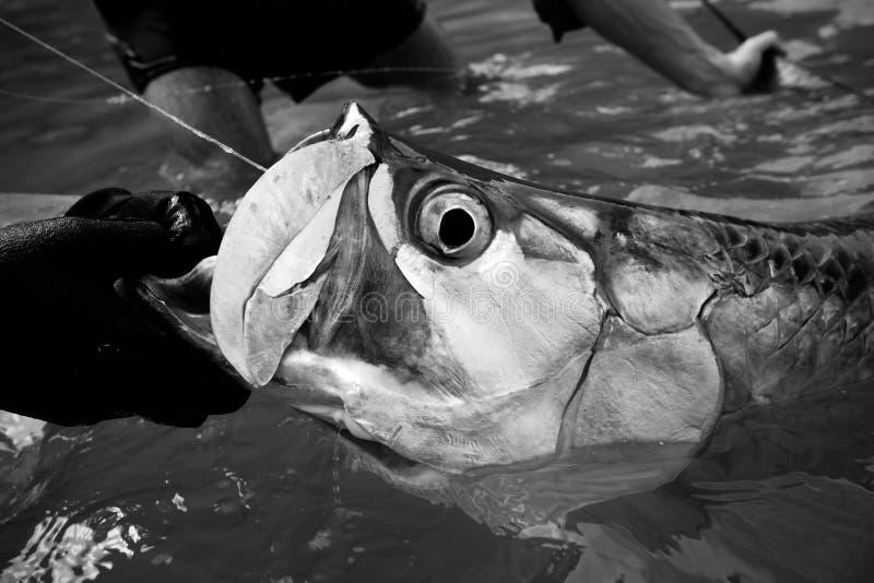 Grande verticale de tarpon noire et blanche - pêche de mouche photo libre de droits