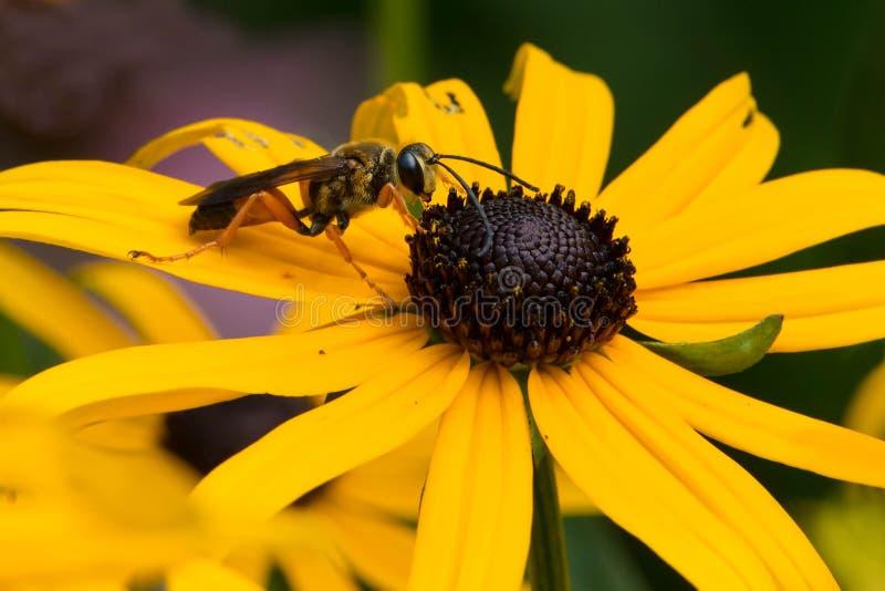 Grande vespa de escavador dourada fotos de stock royalty free