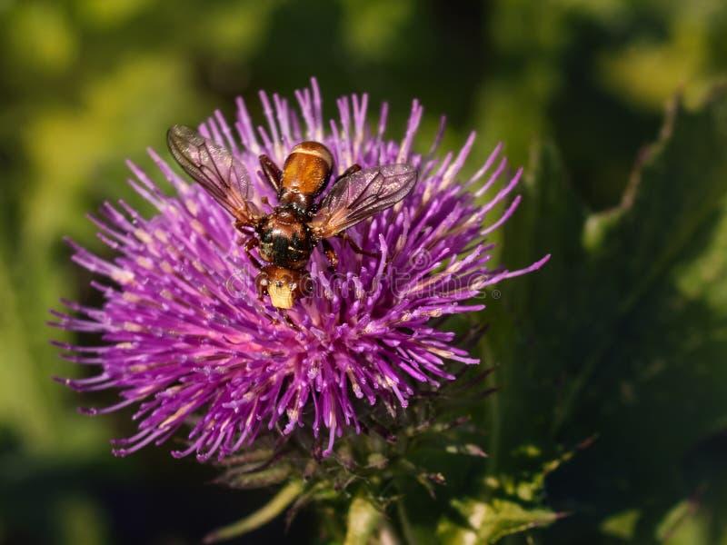 Grande vespa su un fiore porpora della bardana immagine stock libera da diritti