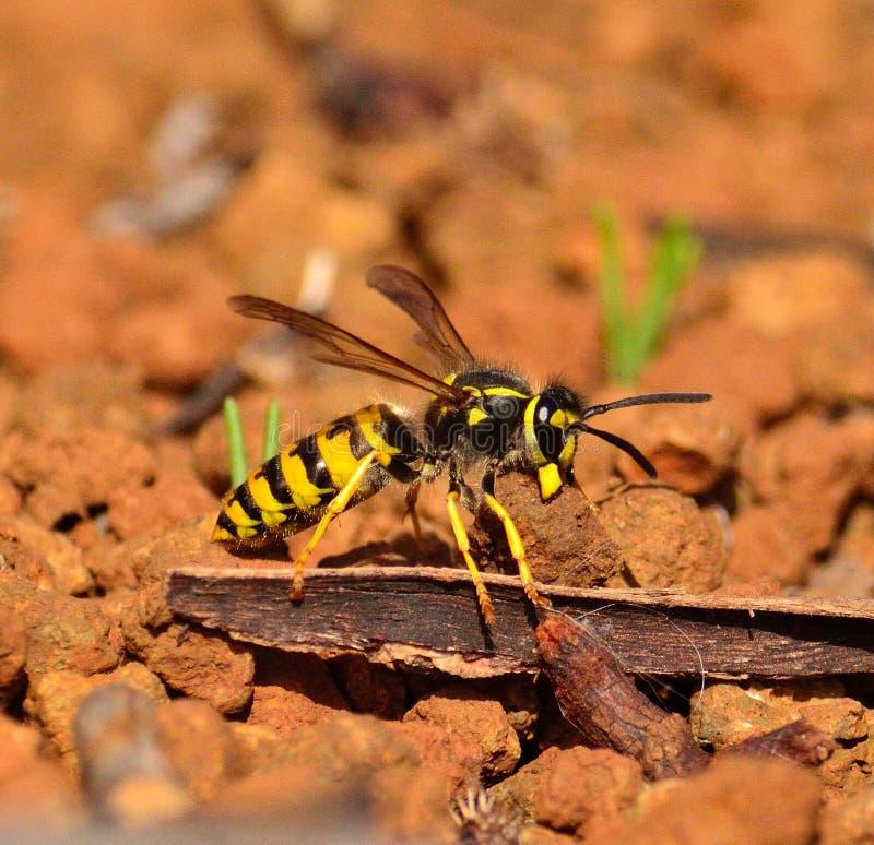 Grande vespula germanica della vespa che porta piccola pietra con le sue mandibole immagine stock