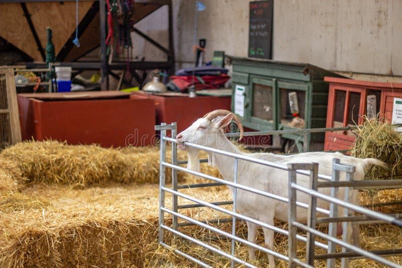 Grande vieille chèvre masculine à la ferme photo libre de droits
