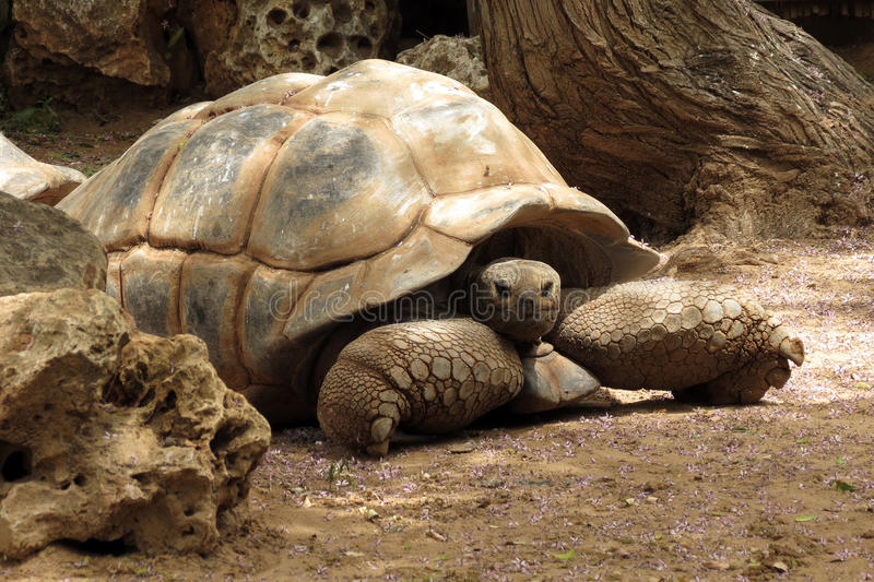Grande vieille tortue En Safari Ramat Gan, l'Israël photographie stock libre de droits