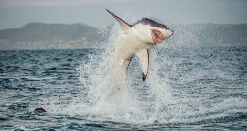 Grande violation de carcharias de Carcharodon de requin blanc images stock