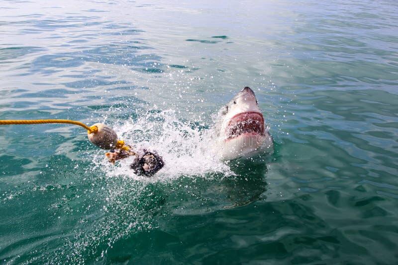 Grande violation de requin blanc image stock